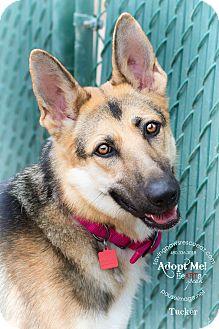German Shepherd Dog Dog for adoption in Phoenix, Arizona - Tucker