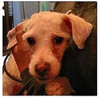 Adopt A Pet :: Lavinia - New York, NY