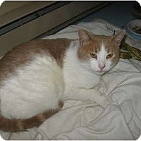 Adopt A Pet :: Marshmallow - Portland, ME