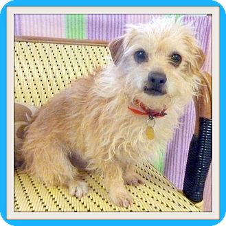 Dachshund/Terrier (Unknown Type, Small) Mix Dog for adoption in Glendale, Arizona - Beau