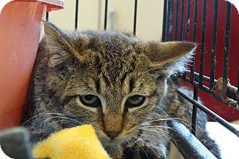 Domestic Shorthair Kitten for adoption in Elyria, Ohio - Abbey