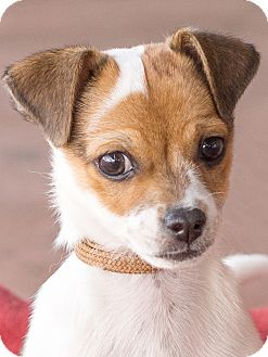 Jack Russell Terrier/Chihuahua Mix Puppy for adoption in Chandler, Arizona - Colby