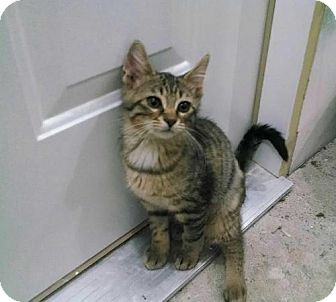 Domestic Shorthair Kitten for adoption in Indianapolis, Indiana - Peanut Butter
