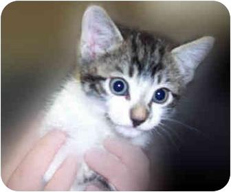 Domestic Shorthair Kitten for adoption in San Clemente, California - JILL = Sweet Kitten