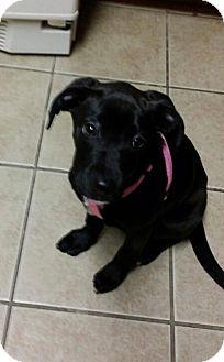 Labrador Retriever/American Pit Bull Terrier Mix Dog for adoption in Lexington, Kentucky - Rowan