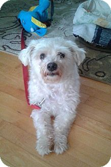 Maltese Dog for adoption in Rigaud, Quebec - Nugget
