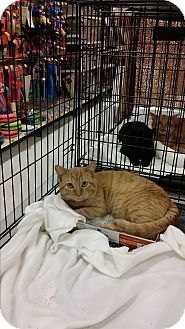 Domestic Shorthair Cat for adoption in Temecula, California - George