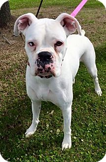 Boxer Dog for adoption in Beaumont, Texas - ABBY