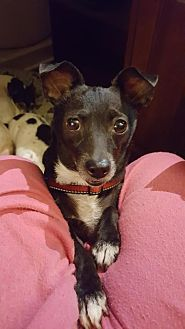 Rat Terrier/Chihuahua Mix Dog for adoption in Suffolk, Virginia - Charlie