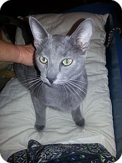 Russian Blue Cat for adoption in Schertz, Texas - Blu LS