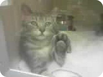 Domestic Shorthair Kitten for adoption in DeLand, Florida - Scruffy