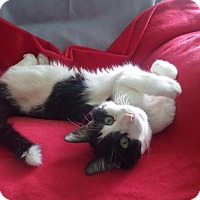 Adopt A Pet :: Rocky - Declawed Lovesponge - Rochester, NY