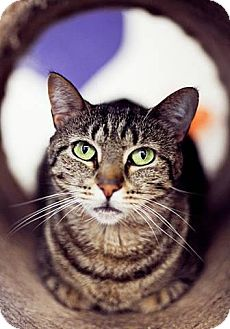 Domestic Shorthair Cat for adoption in Freeport, New York - Anastasia
