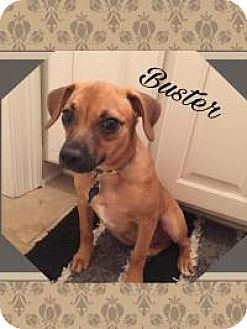 Chihuahua/Dachshund Mix Dog for adoption in Walker, Louisiana - Buster