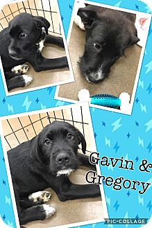 Labrador Retriever/Terrier (Unknown Type, Medium) Mix Dog for adoption in ST LOUIS, Missouri - Gregory
