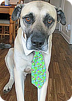 Anatolian Shepherd/Rhodesian Ridgeback Mix Dog for adoption in Baltimore, Maryland - Maverick