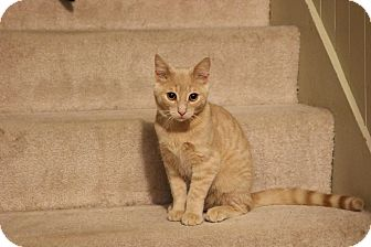 Domestic Shorthair Cat for adoption in Lindsay, Ontario - Tigger