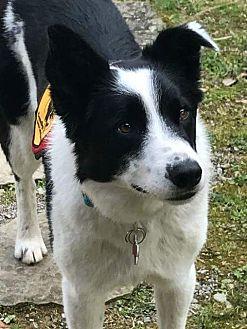 Border Collie Dog for adoption in Plymouth, Indiana - Lady