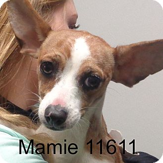 Dachshund/Chihuahua Mix Dog for adoption in Manassas, Virginia - Mamie