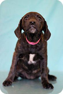 Hound (Unknown Type) Mix Puppy for adoption in Waldorf, Maryland - Elastica