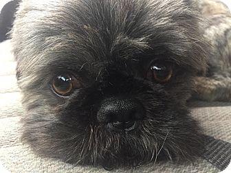 Shih Tzu Dog for adoption in Warner Robins, Georgia - Roscoe