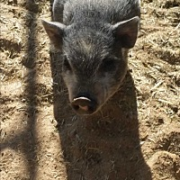 Pig (Potbellied) for adoption in Riverside, California - TINYT2