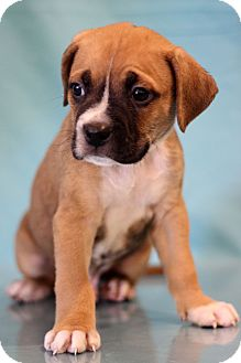 Boxer Mix Puppy for adoption in Waldorf, Maryland - Adam