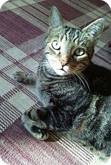 Domestic Shorthair Cat for adoption in Harrisonburg, Virginia - Oskar