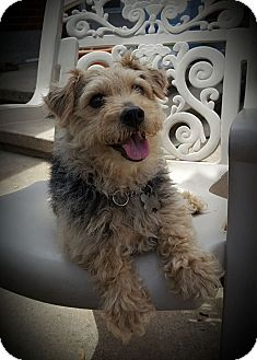 Terrier (Unknown Type, Small) Mix Dog for adoption in Mississauga, Ontario - Mickey