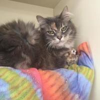 Domestic Longhair/Domestic Shorthair Mix Cat for adoption in Logan, Iowa - Sunny