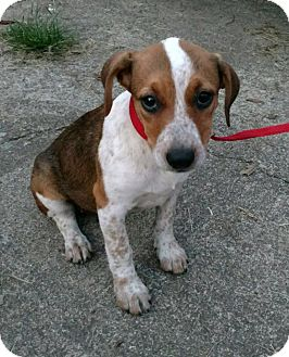 Beagle Mix Puppy for adoption in Cincinatti, Ohio - Georgie