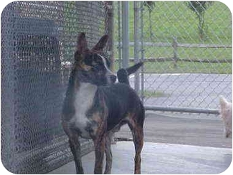 Boston Terrier Mix Dog for adoption in Burnsville, North Carolina - Cookie-URGENT!