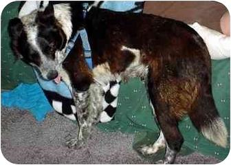 Australian Shepherd Dog for adoption in Freedom Township, Ohio - Emma-ADOPTED!!