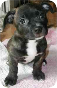 French Bulldog/Dachshund Mix Puppy for adoption in Wake Forest, North Carolina - Brickel