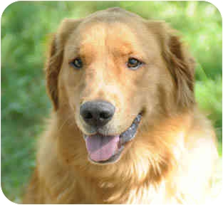 Golden Retriever Dog for adoption in Chicago, Illinois - B & Rosebud