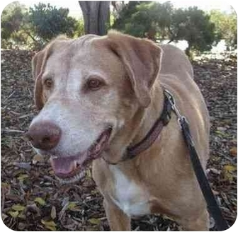 Labrador Retriever Dog for adoption in San Diego, California - SIMON