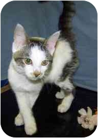 Domestic Shorthair Kitten for adoption in Meadow Lake, Saskatchewan - Kitty Purry