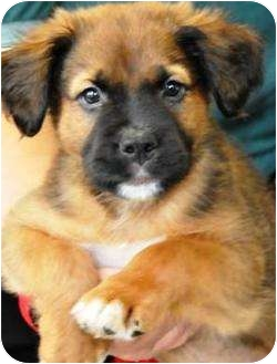 German Shepherd Dog/Golden Retriever Mix Puppy for adoption in Oswego, Illinois - I'M ADOPTED Tank Stensgaard