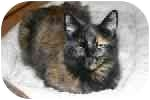Domestic Longhair Cat for adoption in Lake Ronkonkoma, New York - Patch