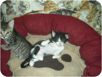 Domestic Shorthair Kitten for adoption in Huffman, Texas - Tess