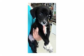 Border Collie Mix Puppy for adoption in Pompton Lakes, New Jersey - Skittles