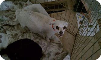 Chihuahua/Pekingese Mix Dog for adoption in Sacramento, California - Molly