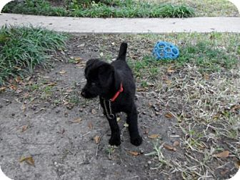 Terrier (Unknown Type, Small) Mix Puppy for adoption in Houston, Texas - Holly