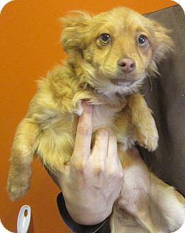 Chihuahua/Spaniel (Unknown Type) Mix Dog for adoption in Westminster, California - Thunder