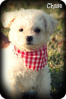 Shih Tzu/Poodle (Miniature) Mix Puppy for adoption in Brattleboro, Vermont - Chase