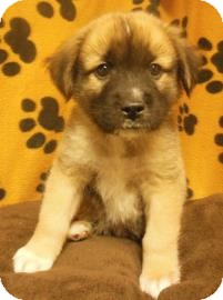 Chow Chow/German Shepherd Dog Mix Puppy for adoption in Gary, Indiana - Zigfred