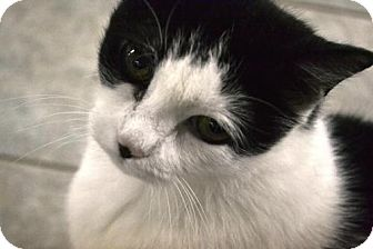 Domestic Shorthair Cat for adoption in East Smithfield, Pennsylvania - Morticia