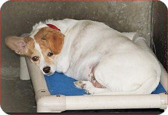 Chihuahua/Corgi Mix Dog for adoption in Norfolk, Virginia - Scarlett