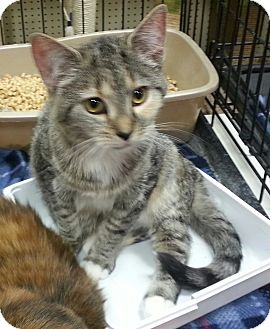Domestic Longhair Kitten for adoption in Statesville, North Carolina - Tulip