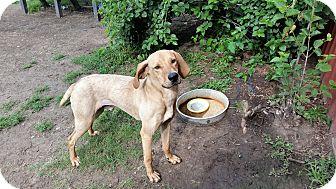 Hound (Unknown Type)/Weimaraner Mix Dog for adoption in Indianola, Iowa - Axile